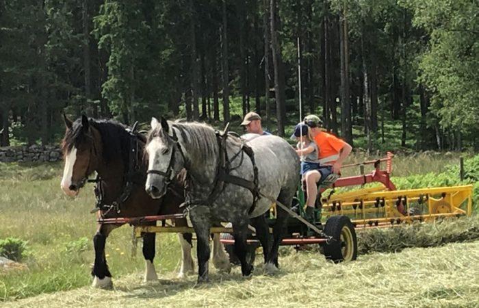 En skimmel och en brunfärgad häst i par på slåtteräng