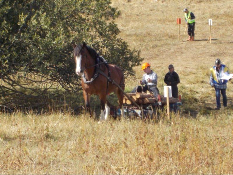 Man kör häst genom en bana på ett fält sittandes på ett lass med åtta stockar. Bakom syns tävlingsfunktionärer gåendes.