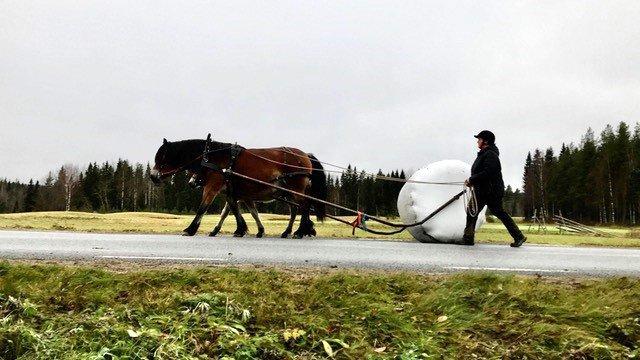 Nordsvensk brukshäst syns från sidan. Bakom hästen ser man fölben. Kvinna går bakom med tömmar i hand. Hästen drar en vit rundbal.