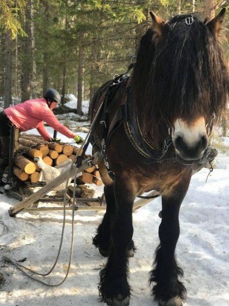 Nordsvensk brukshäst syns framifrån. Hästen drar en timmersläde som en Camilla Rolandsson håller på att lasta