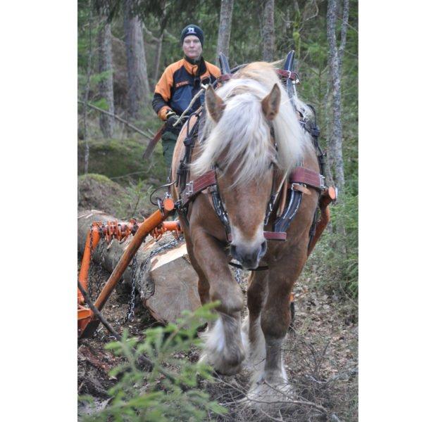 Kvinna i orange och blå jacka går bakom ljusfuxfärgad ardenner som drar en stor stock ur skogen