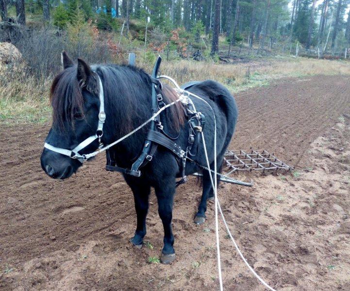 Svart russ står på jordig åker, selad och med tömmarna i marken
