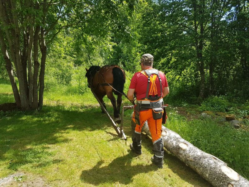 Mattias på Blidbo Brukshästar går bakom en häst som drar en stock över en gräsmatta