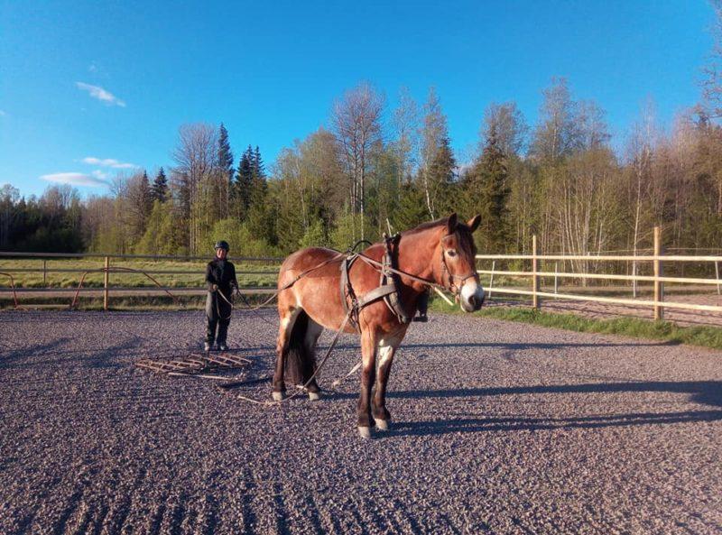 Kvinna går bakom häst i paddock. Hästen har sele och ekipaget håller på att sladda underlaget.