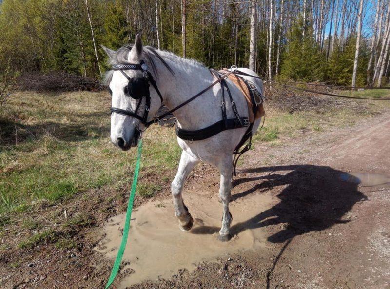 Skimmel med sele och träns med skygglappar trampar i en lerig vattenpöl.
