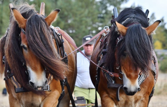 Ett par nordsvenska brukshästar syns framifrån i närbild