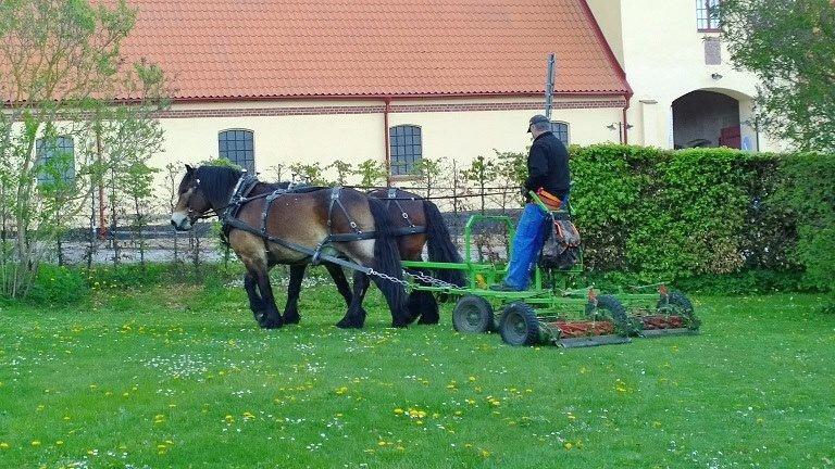 Brukshästar i par drar en gräsklippare med en man som står på klipparen. I bakgrunden syns ett gulrappat stenhus i gotlandsstil