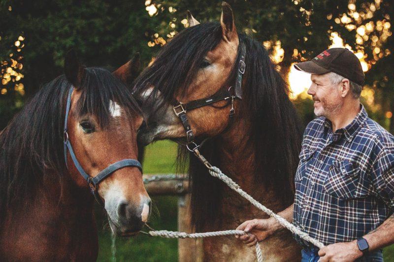 Två nordsvenska brukshästar i grimma, man står bredvid och tittar på dem med ett leende