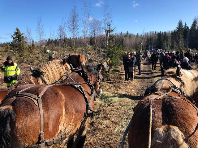 Tre hästar syns bakifrån på en skogsväg. Många människor på vägen.