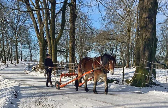 Nordsvensk brukshäst på plogad vinterväg tömkörs av kvinna