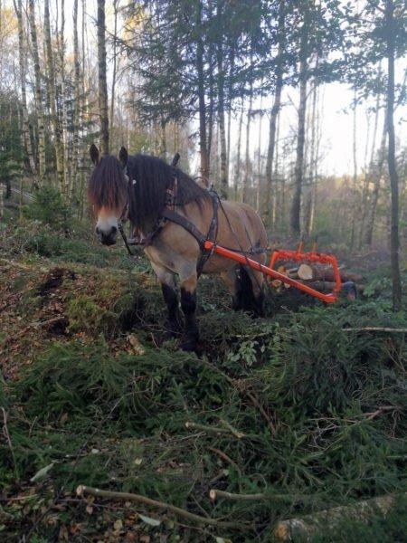 Häst står i skogen med timmerlass bakom sig