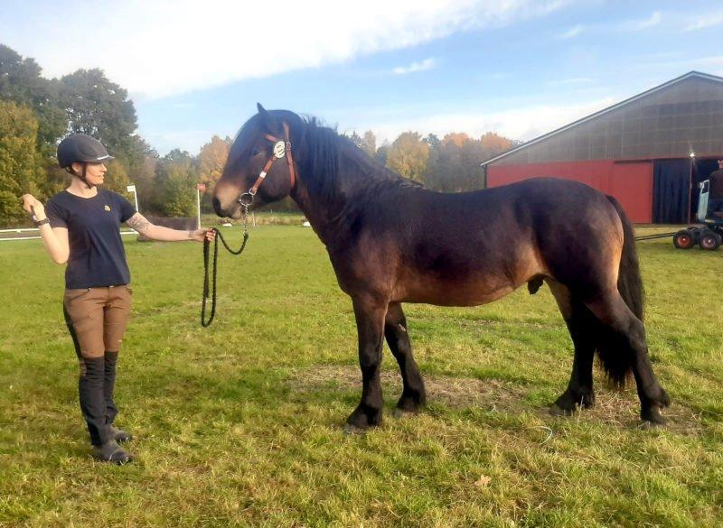 Häst sedd från sidan, kvinna står framför med tyglarna i en hand