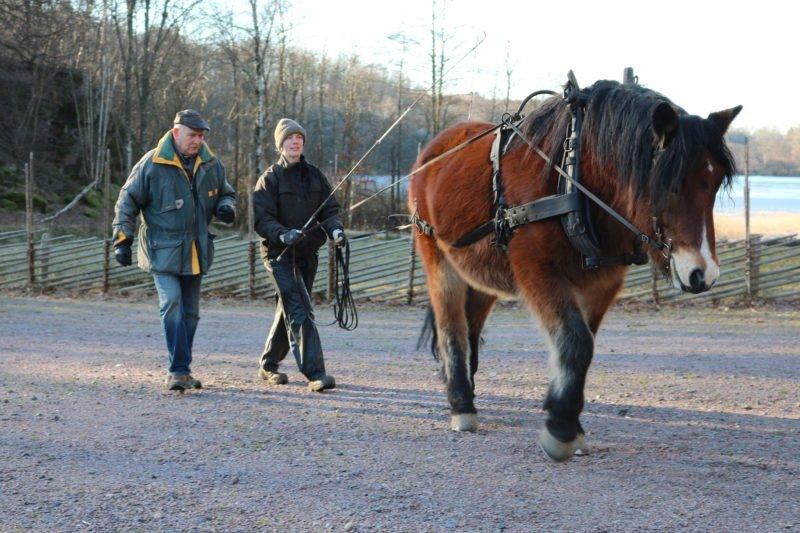 Kvinna tömkör en brun nordsvensk häst en höstdag. Bredvid kusken går en äldre man