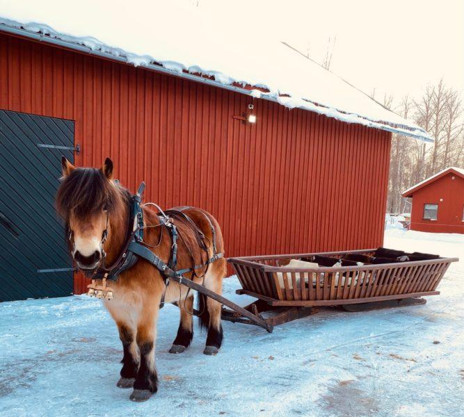 Nordsvensk häst står och väntar framför en röd lada med svarta dörrar. Hästen är spänd framför en släde. I släden ligger fårskinn.