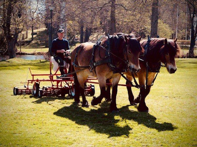 Två nordsvenska hästar drar en gräsklippare som en man sitter på och håller i tömmarna.