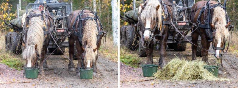 Två hästar från Hästens Storskogsentreprenad står på en grusväg i skogen. De är anspända framför vagn men har paus och får vatten i hink och hö