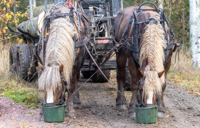 Två aredennerhästar från Hästens Storskogsentreprenad står framför griplastarvagnen, men har paus. Båda har huvudena i varsin grön hink.