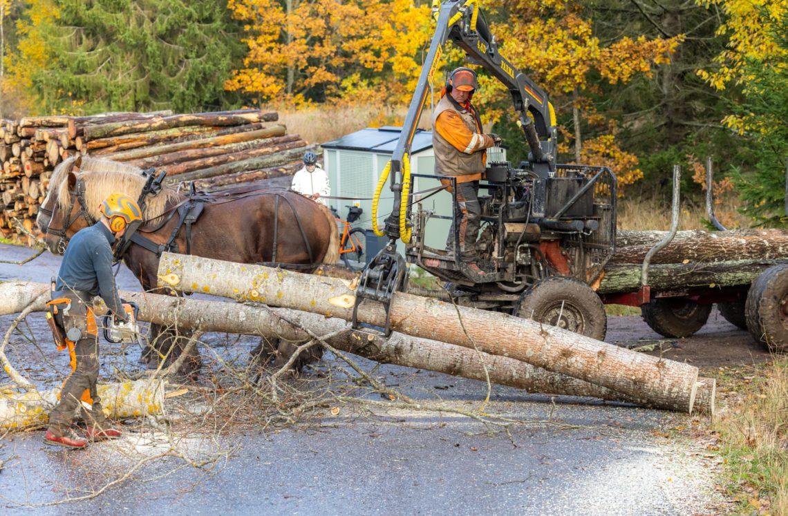 En person står med motorsåg på en grusväg. En annan person står på en griplastarvagn spänd framför två ardennerhästar. Man håller precis på att lasta två timmerstockar på vagnen.