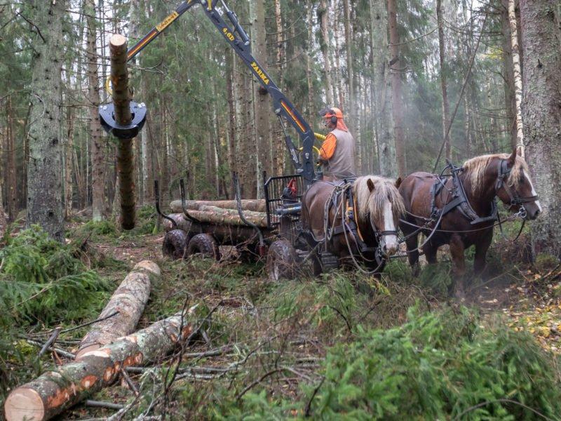 I skogen står två ardennrar framför en griplastarvagn. En man håller just på att lasta en timmerstock på vagnen. Stocken hänger i griparmen i luften.