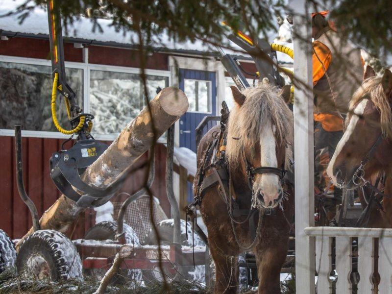 Mellan trå fritidshus står hästarna och väntar på att lastningen ska bli klar.
