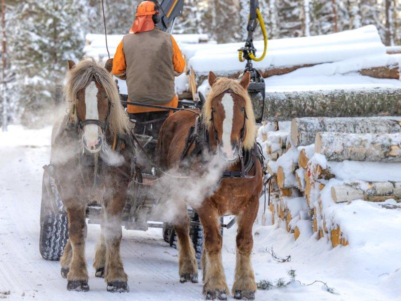 Två brukshästar framför en griplastarvagn. Det är vinter, snö på marken och hästarnas utandningsluft syns som tjocka rökstrimmor. En man står på vagnen med ryggen vänd mot oss och lastar timmer.