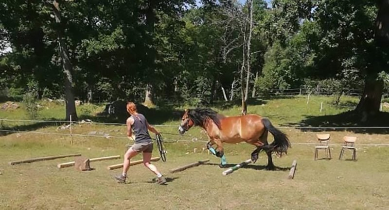 Kvinna springer med nordsvensk brukshäst över bommar som ligger på marken en solig varm sommardag
